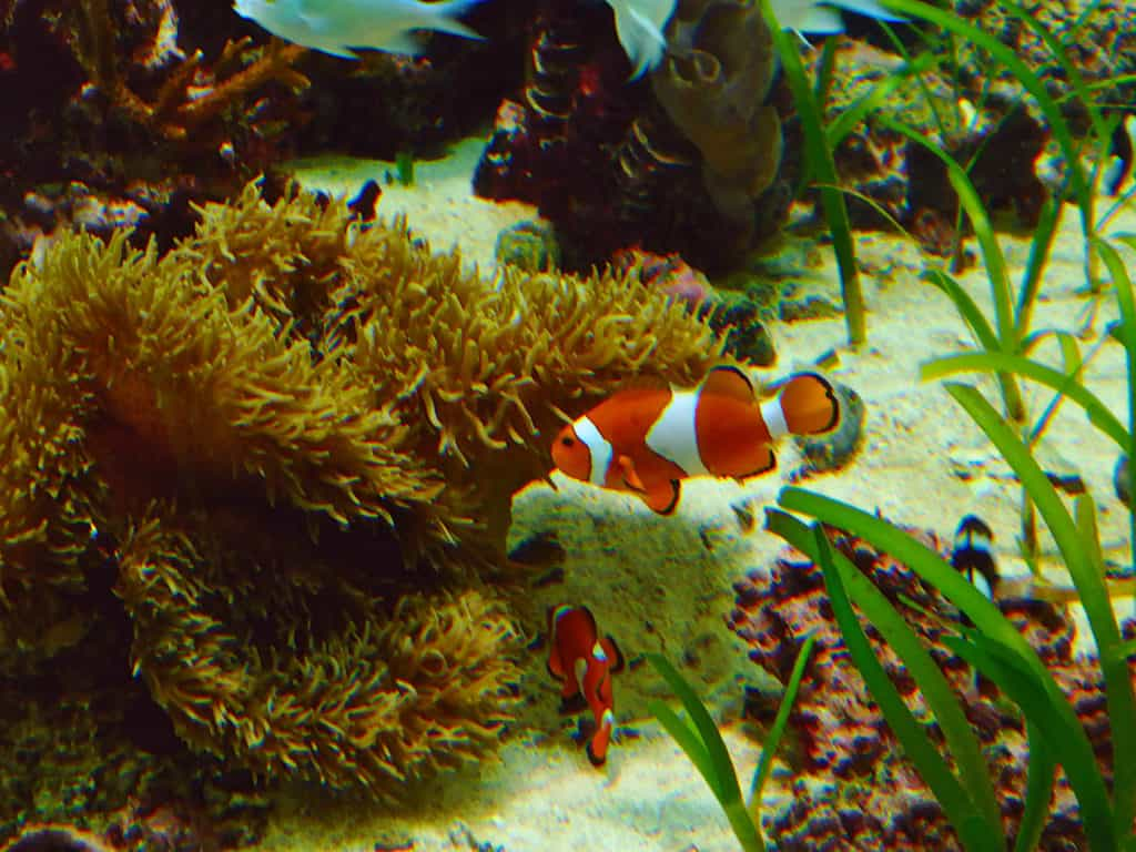 Clown Fish Sea Life Park