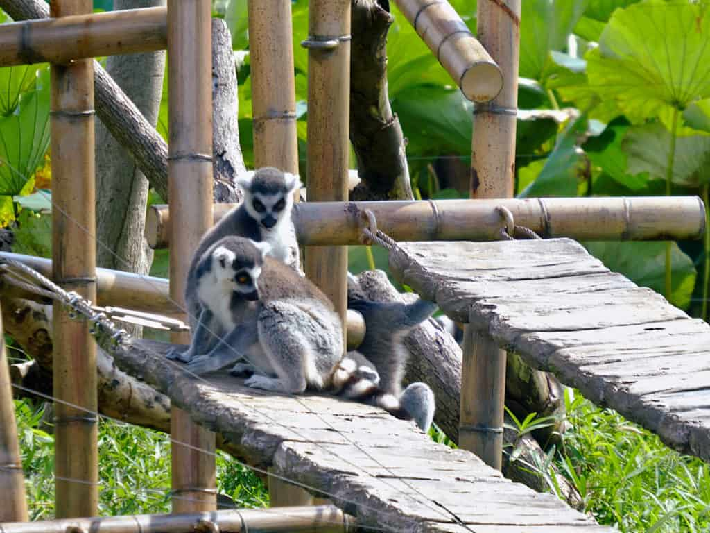 Ueno Zoo Ring tailed lemurs